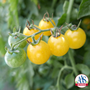 Tomato Fire Fly - 2019 AAS Edible - Vegetable Winner