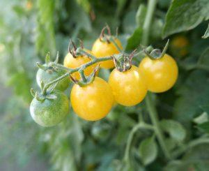 Tomato Fire Fly - 2019 AAS Edible - Vegetable Winner