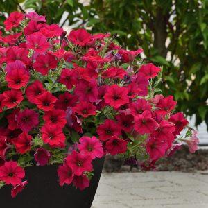Petunia Wave Carmine Velour - 2019 AAS Flower Winner