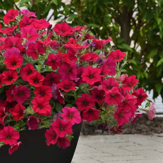 Petunia Wave Carmine Velour - 2019 AAS Flower Winner