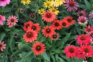 Echinacea Cheyenne Spirit - great for pollinators - All-America Selections Winner