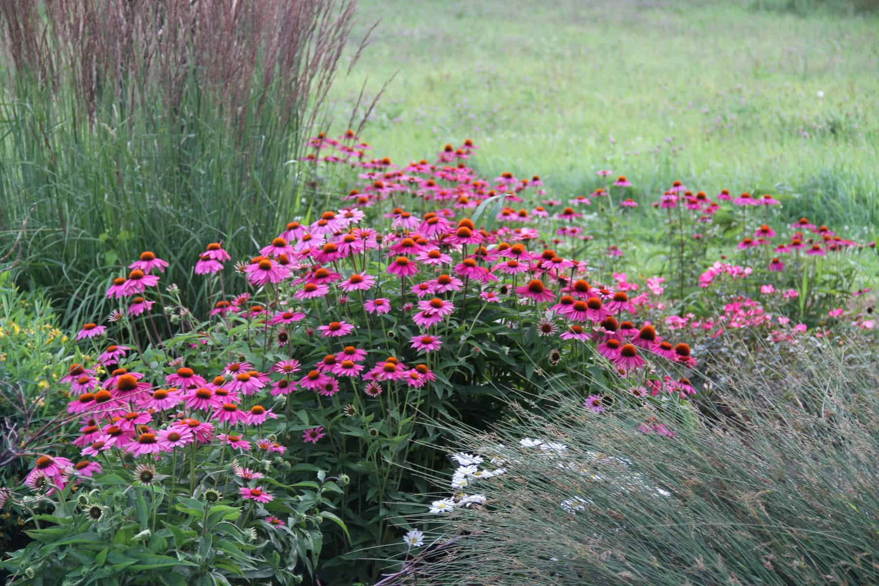Echinacea. Pow Wow Wild Berry for pollinatora - All America Selection Winner