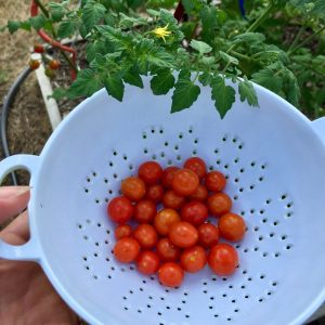 Candyland Red Tomato