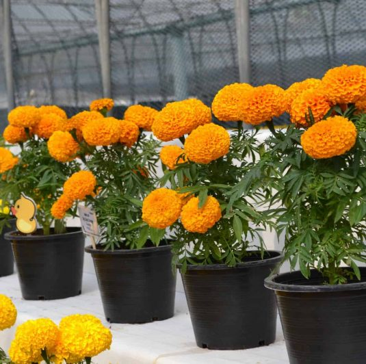 Marigold Big Duck Orange - 2019 AAS Ornamental Winner