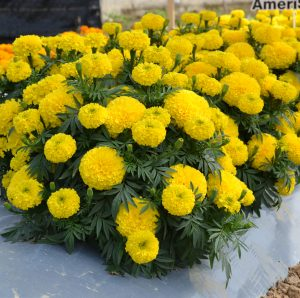 Marigold Big Duck Yellow - 2019 AAS Ornamental Winner