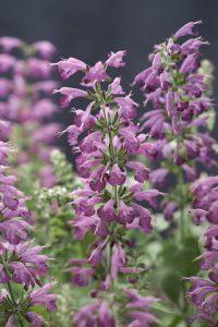 Salvia Summer Jewel Lavender - All-America Selections Winner - Great for Pollinators