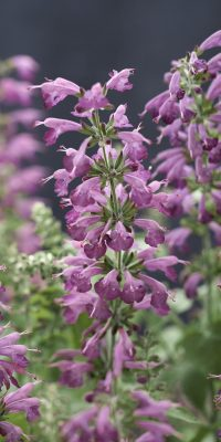 Salvia Summer Jewel Lavender - All-America Selections Winner - Great for Pollinators