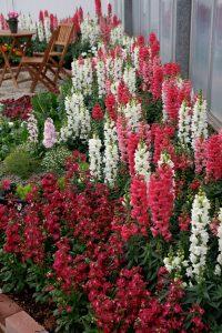 Snapdragon Cast Bloom Plants_Sakata