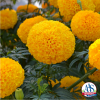 Marigold Garuda Deep Gold - 2019 AAS Ornamental AAS Winner