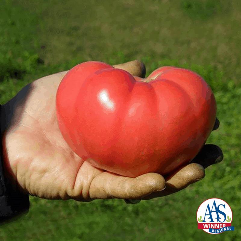 Tomato Mountain Rouge - 2019 AAS Edible-Vegetable Winner