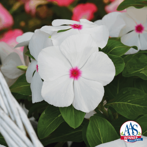 Vinca Mega Bloom Polka Dot - 2019 AAS Flower Winner