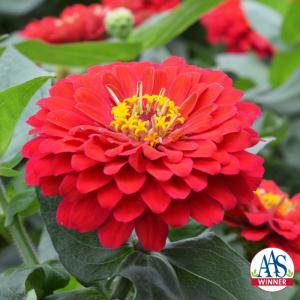 Zinnia Holi Scarlet - AAS 2019 AAS Flower Winner
