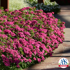 Dianthus Interspecific Jolt™ Pink F1 - AAS Winner