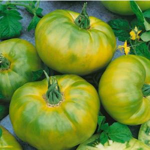 Tomato Chef's Choice Green - AAS Winner
