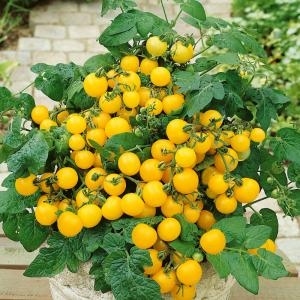 Tomato Patio Choice Yellow - AAS Winner