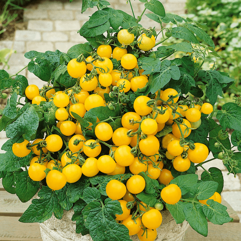 Tomato Patio Choice Yellow - AAS Winner