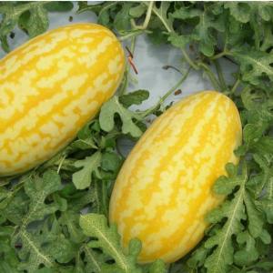 Watermelon Gold in Gold - AAS Winner