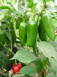 Pepper Emerald Fire - AAS Winner