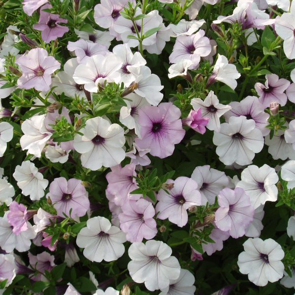 Petunia Tidal Wave Silver - A tough and manly AAS WInner plant for men
