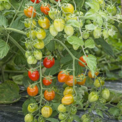 Tomato Celano F1 - 2020 AAS Edible-Vegetable Winner