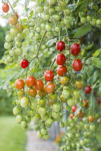 Tomato Celano F1 - 2020 AAS Edible-Vegetable Winner