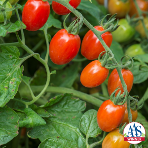 Tomato Celano - 2020 AAS Edible-Vegetable Winner