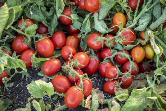 Tomato Early Resilience - 2020 AAS Edible-Vegetable Winner