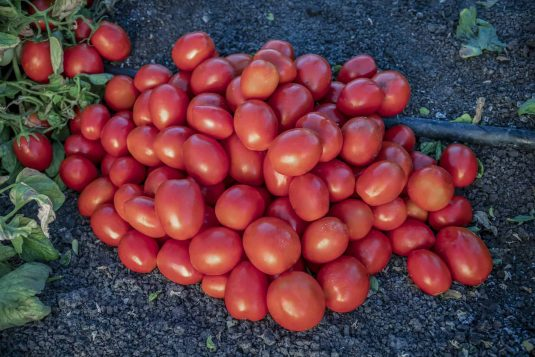 Tomato Early Resilience - 2020 AAS Edible-Vegetable Winner