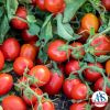 Tomato Early Resilience - AAS Edible Winner