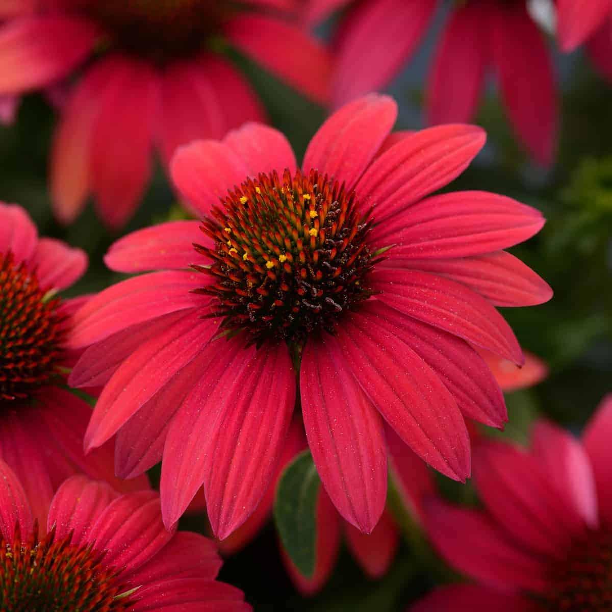 Echinacea Sombrero® Baja Burgundy AAS 2020 Herbaceous Perennial Winner