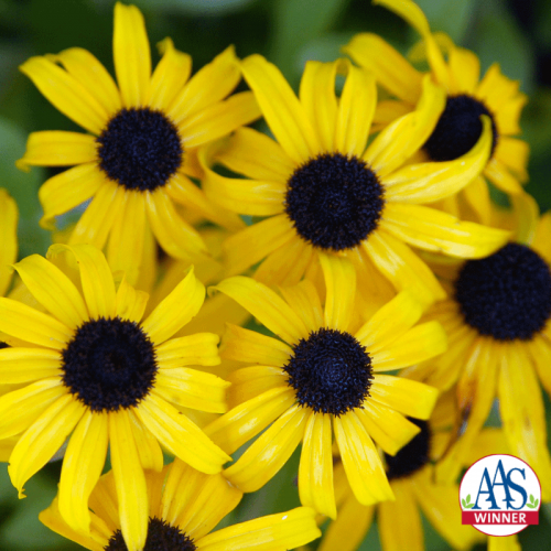 Rudbeckia x American Gold Rush - AAS Herbaceous Perennial Winner