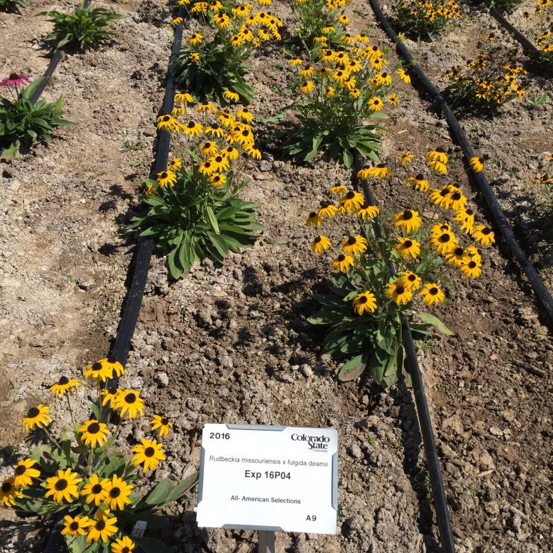 Colorado State University Perennial AAS Trials