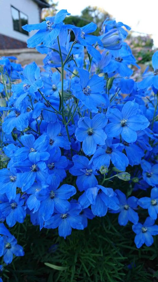 Delphinium Cheer Blue - AAS Flower Winner - new compact delphinium that's covered with gorgeous blue flowers.