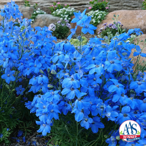 Delphinium Cheer Blue - AAS Flower Winner