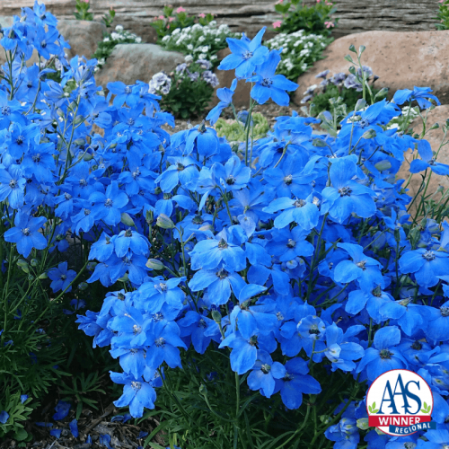Delphinium Cheer Blue - AAS Flower Winner