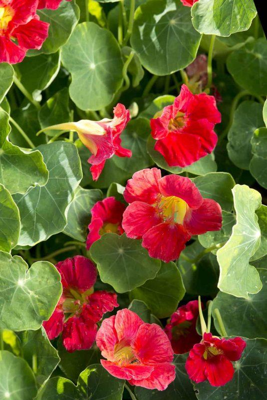 Nasturtium Tip Top Rose - 2020 AAS Ornamental Winner
