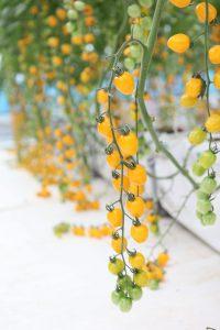 Tomato Apple Yellow - 2020 AAS Edible - Vegetable Winner