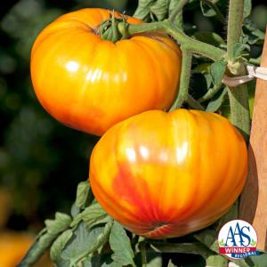 Tomato Buffalosun - 2020 AAS Edible - Vegetable Winner