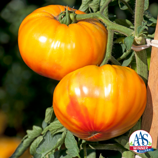 Tomato Buffalosun - 2020 AAS Edible - Vegetable Winner