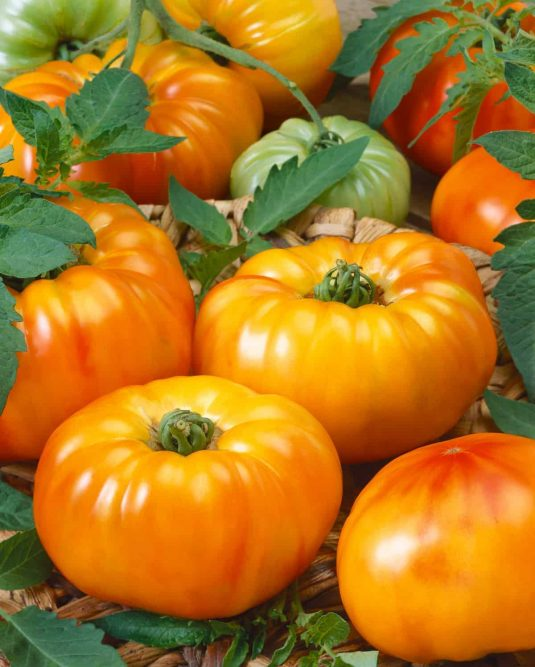 Tomato Chef's Choice Bicolor - 2020 ASS Edible - Vegetable Winner