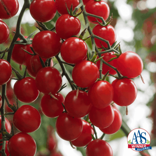 Tomato Crokine - 2020 AAS Edible - Vegetable Winners