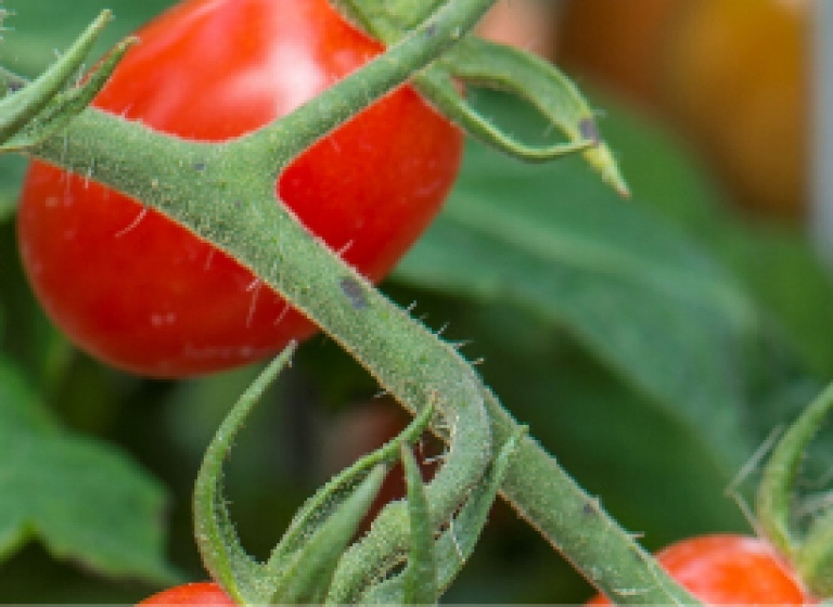 New AAS Winning Tomato Varieties to Grow in Your Garden - All-America Selections