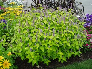Agastache 'Golden Jubilee' is an All-America Selections winner and great for attracting pollinators - AAS Winner