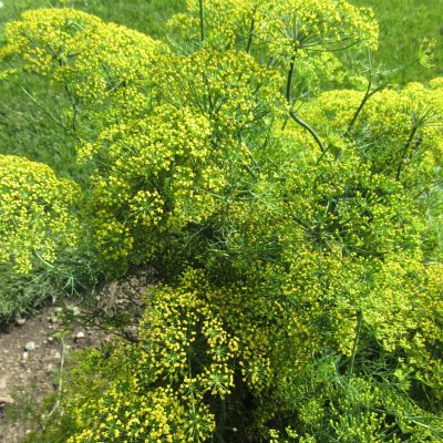 Dill 'Fernleaf' is an All-America Selection Winner and a pollinator magnet - AAS Winner