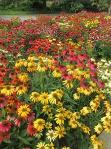 Echinacea Cheyenne Spirit is a pollinator magnet and an All-America Selection Winner - AAS Winner