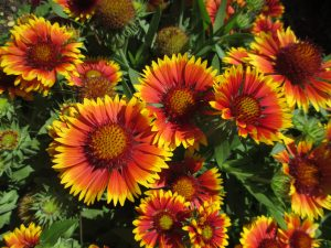 Gaillardia Arizonia Sun for pollinators - An All-America Selection Winner
