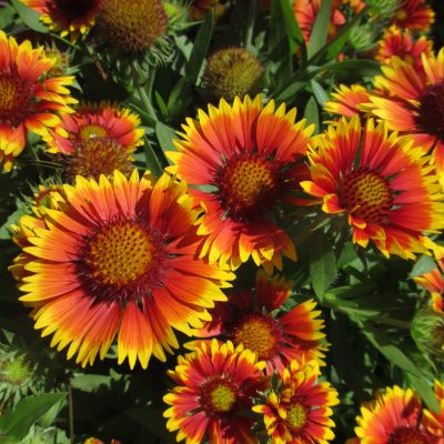 Gaillardia Arizonia Sun for pollinators - An All-America Selection Winner