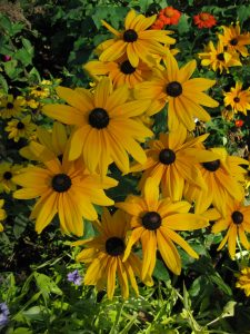 Rudbeckia Indian Summer - An AAS Winner that pollinators love - All-America Selections