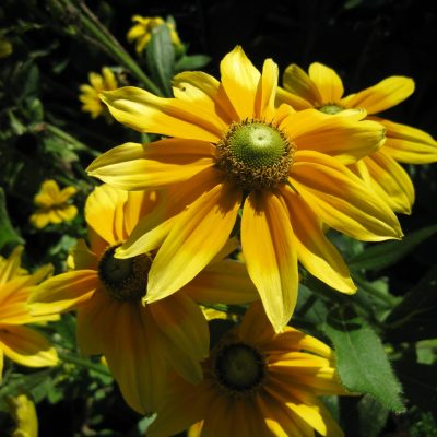Rudbeckia Prairie Sun is a great flower for bees and butterflies - All-America Selection Winner