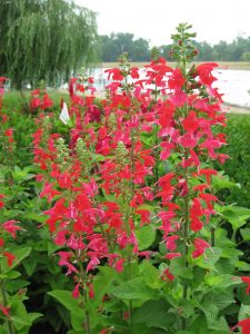 Salvia Summer Jewel is an AAS Winner and a perfect Pollinator Flower - All-America Selections